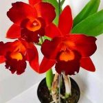 Orquidea Post Novo