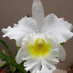 Orquidea by Sussumu Isoya