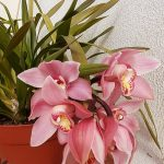 Orquidea cymbidium rosinha by Delta Gomes